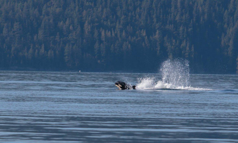 Walvissen, Orka's, Zeeleeuwen en Bruinvissen in Canada