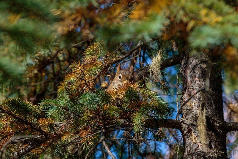 Eekhoorn Canada